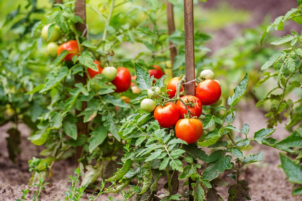 Quand semer et planter les tomates