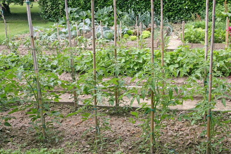 distance entre les plantation des tomates