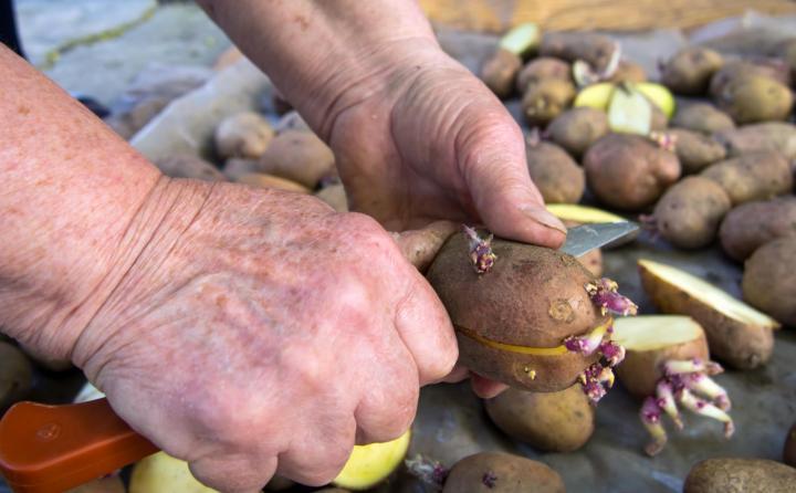 Comment couper les pommes de terre pour les semer