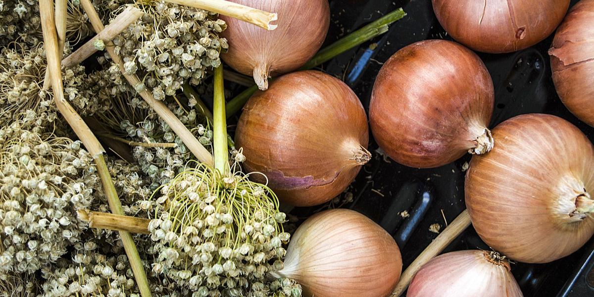 Planter les oignons avec des graines