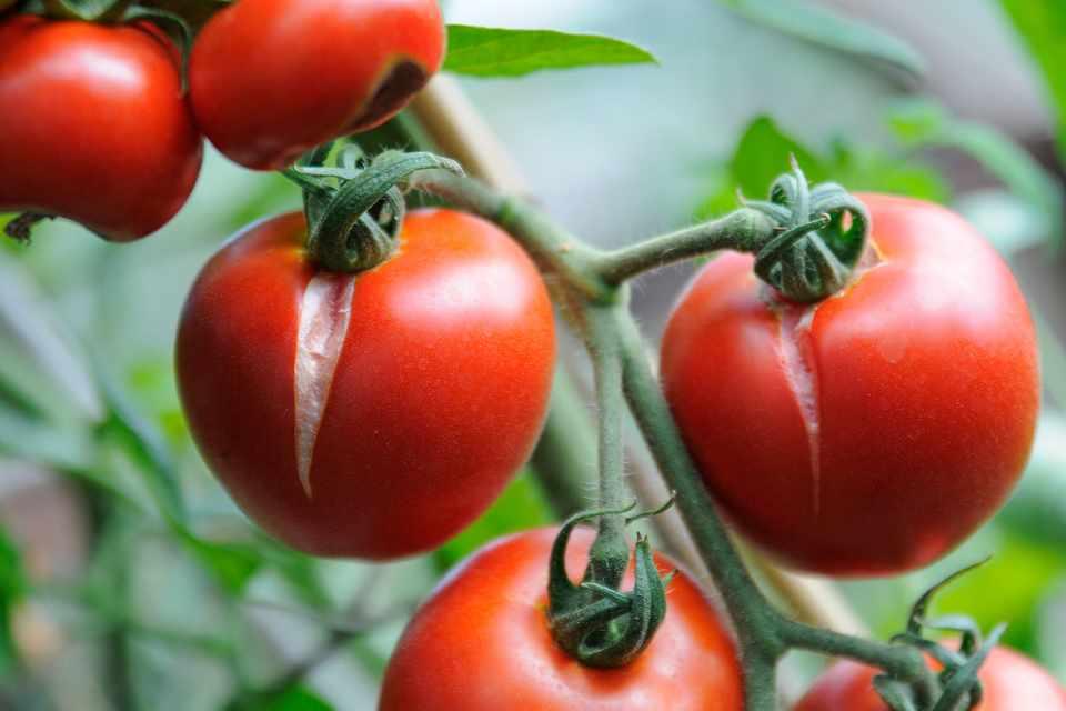 Pourquoi les tomates se fendent