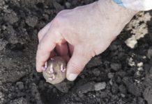 Quand et comment planter la pomme de terre
