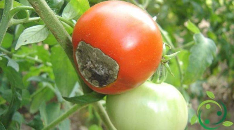 causes de la pourriture apicale de la tomate