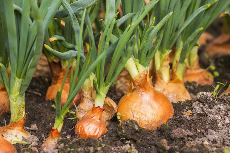 comment planter les oignons