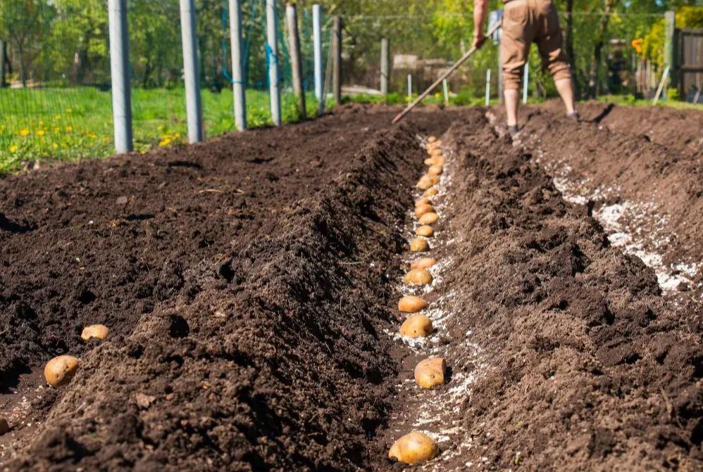 comment planter pomme de terre