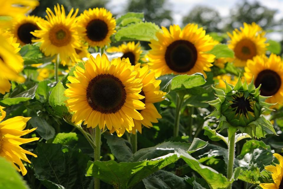 fleurs à planter en août