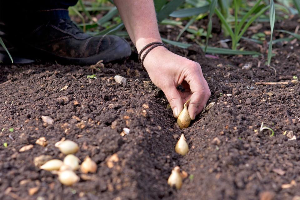 planter des oignons germés
