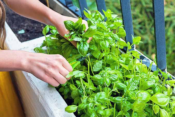 planter du basiclic dans un pot