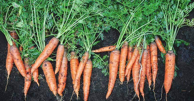 quand ceuillr les carottes
