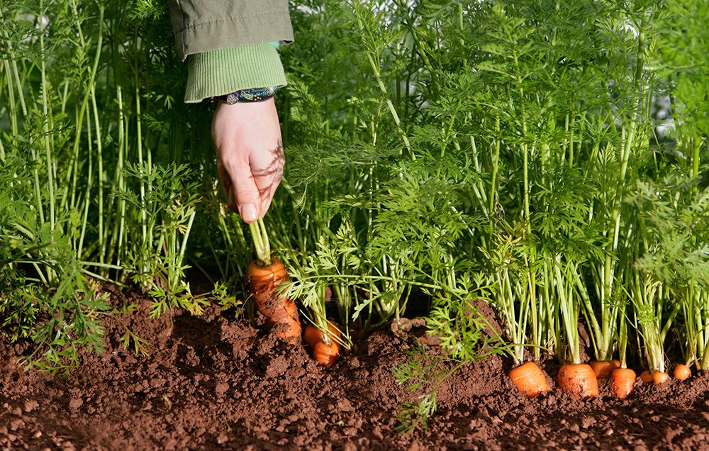 semer et comment cultiver des carottes