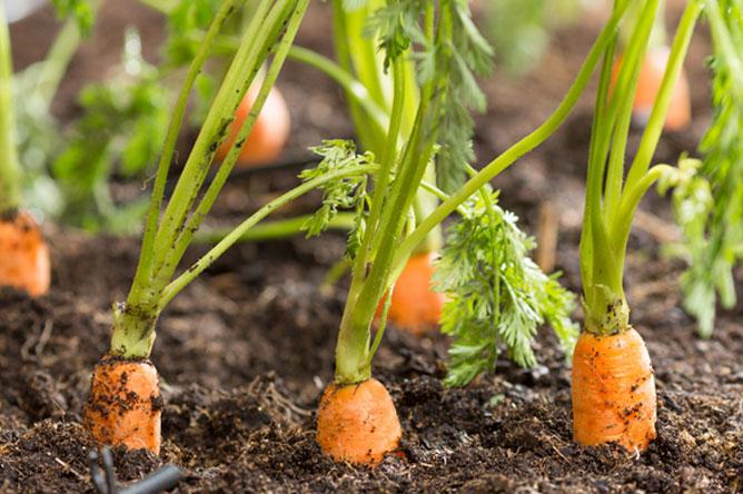 sol pour planter des carottes