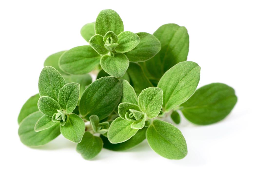 plante medicinale - marjolaine