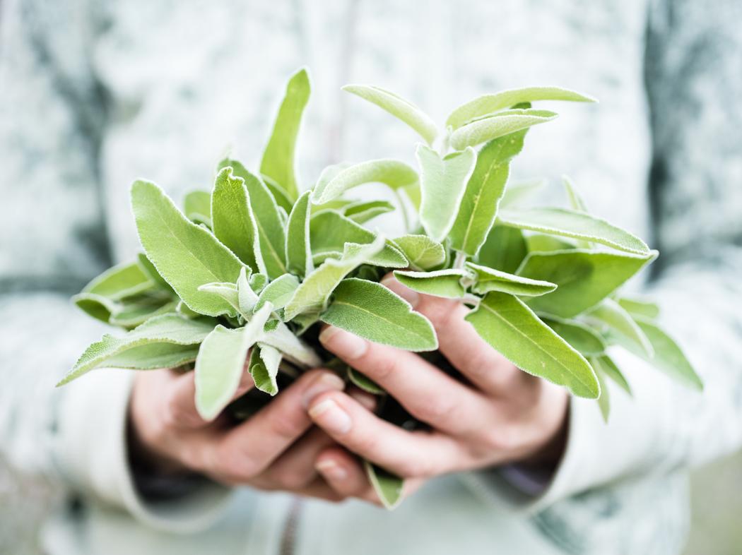 plante medicinale - sauge