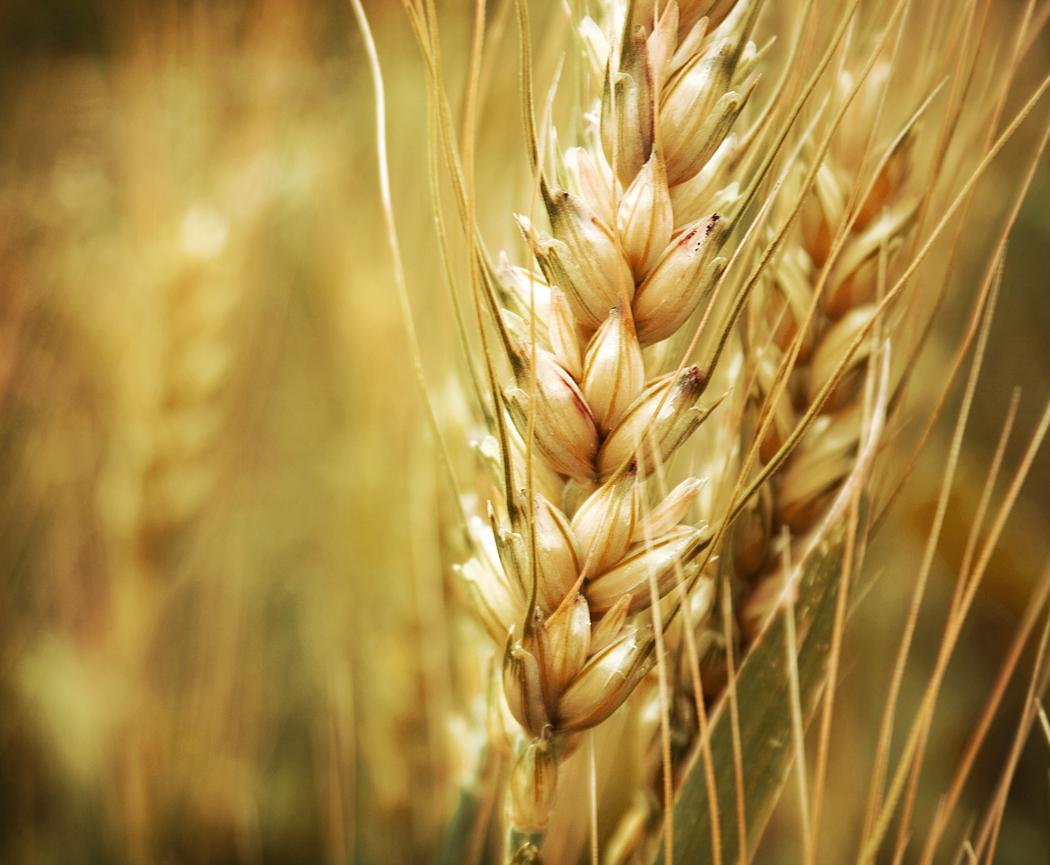 cultiver semer céréales au jardin potager