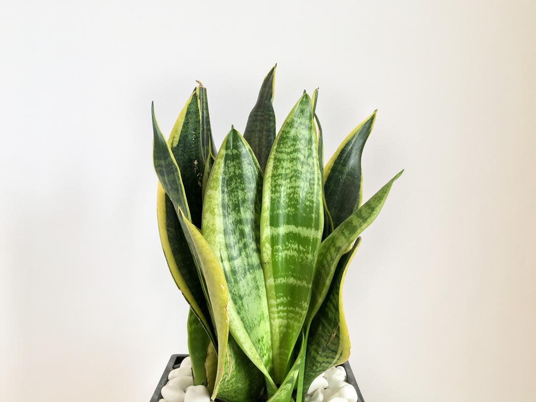Plantes d'intérieur Sanseviera