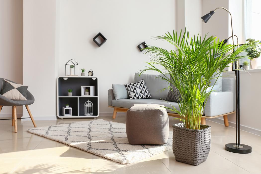 Plantes d'intérieur palmier areca